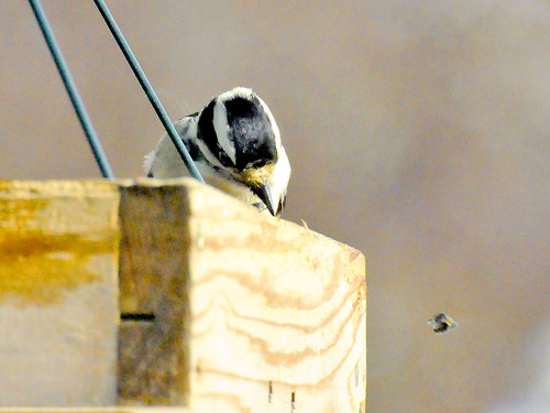 feb downy woodpecker II
