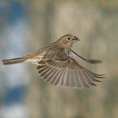Flying First-Class (SavingMemories) Tags: bird fly wing finch stopaction birdinflight femalehousefinch flyingfirstclass savingmemories