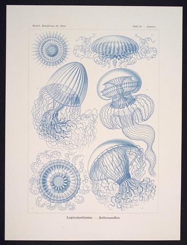 //Leptomedusae,// Ernst Haeckel, Kunstformen der Natur. Chromolithograph 32 x 40 cm, Verlag des Bibliographischen Instituts, Leipzig 1899-1904. Photograph by D Dunlop.