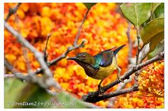 Brown-throated Sunbird (tomtam234) Tags: bird sunbird brownthroated