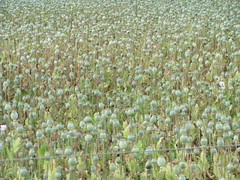 Papaver somniferum var. album (Opium Poppy) - ...