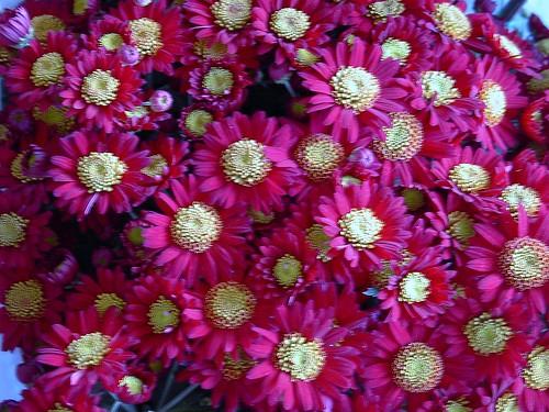 IM004670 Chrysanthemum ,菊花