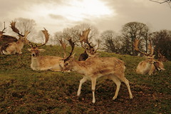 Deer At Dyrham 10 (len'sblackcap) Tags: park gloucestershire deer dyrham