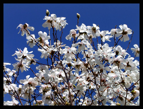 star magnolia tree pictures. Star Magnolia Tree
