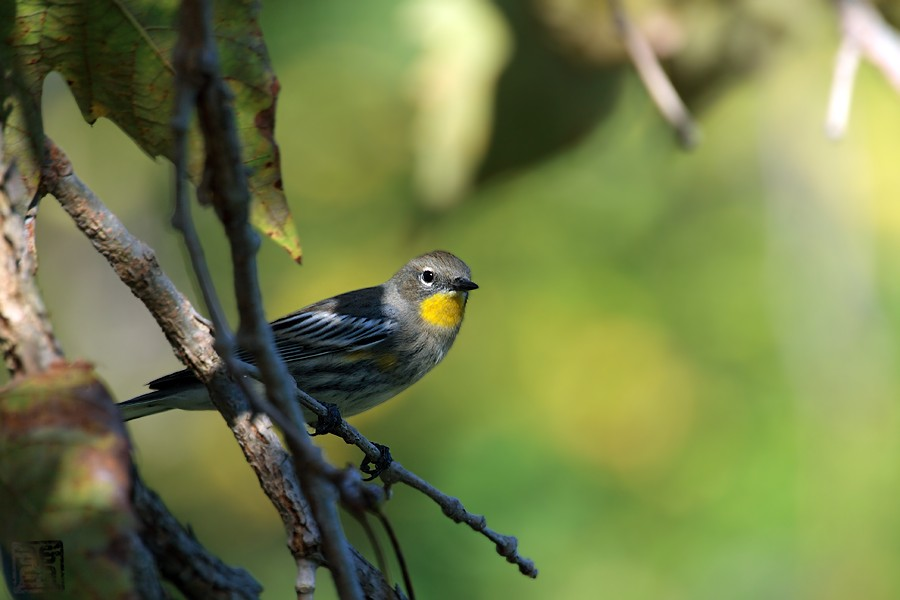 Yellow-rumped Warbler 10081