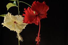hybrid? (Floyd JD) Tags: hibiscus