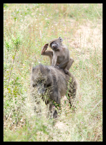 baboon scratching