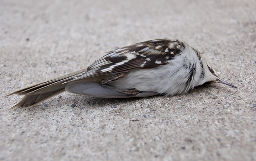 April Brown Creeper II