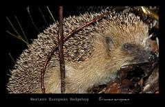 Western European Hedgehog (Erinaceus europaeus)
