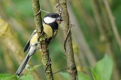 Cinciallegra (giansacca) Tags: birds animals aves uccelli animaux animali greattit parusmajor vogel oise