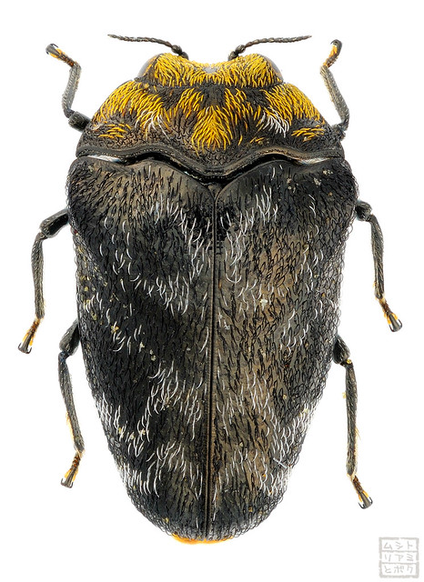 Trachys auricollis