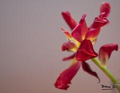 Almost dead flower (DianeD.) Tags: red wild flower nature fleur norway canon dead rouge norge bokeh tulip 5d 24 24mm trondheim norvege tulipe norvge 2485mm fan 2485 fane canonef2485mmf3545usm dianed