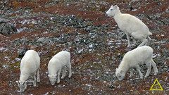 Dall Sheep Pee (jerefolgert) Tags: fall red alaska young juvenile adult pee urine urinate poop squirt spray eat horns autum thinhorn sheep dall cute lovely white