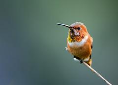 In the Gardens (Patricia Ware) Tags: allenshummingbird california canon handheld palosverdespeninsula selasphorussasin ©2016patriciawareallrightsreserved rollinghillsestates unitedstates us specanimal