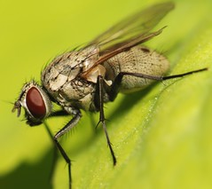 Fly - Side View (Rami ) Tags: red macro green nature bug insect fly leaf eyes head housefly   anthomyiidae