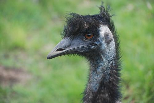 Emu - Coles Bay