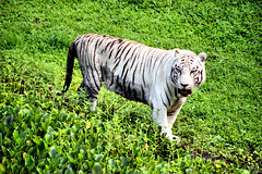 Namaste the White Tiger #1 (EmperorNorton47) Tags: hawaii photo hilo mammals bengaltiger pantheratigris whitebengaltiger panaewarainforestzoo