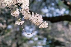 SAKURA(2) (naiva1) Tags: pink blue flower green love dogs nature japan stone shrine pentax sweet  sakura camellia  tamron guardian gunma komainu planar    contaxrx pairof temple
