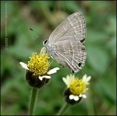 Lycaenidae (Jos Bernardo) Tags: macro nature insect geotagged ecuador mariposa colon lycaenidae portoviejo manab naturewatcher geo:lat=1092043 geo:lon=80425071