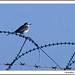 Barbed Wire and Nahlieli (White Wagtail) in Mosaic Sky