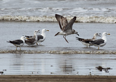 Heuglin's Gull - Adult & 1st Winter (john164694) Tags: india birds gulls maharashtra konkancoast akshibeach
