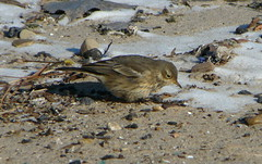 American Pipit, Calumet Park, Chicago, IL (12-11-09) (Walter Marcisz) Tags: birds pipits passerines