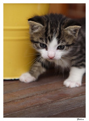 Rony (Flix Corral (Pantone)) Tags: gato felino
