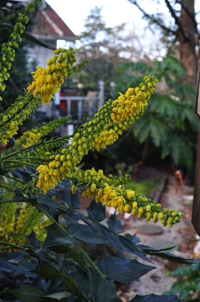 Mahonia x 'Winter Sun' 1