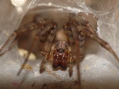 Sump Spider SOOC taken with a Panasonic FZ28 using a Raynox DCR-250 super macro lens (Ted_Roger_Karson) Tags: raynox raynoxdcr250 handheldcamera macrolife panasoniclumixdmcfz28 anuniqueeye