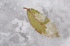 falling to winter (christiaan_25) Tags: winter white snow cold green fall ice leaf seasons battle covered change veins transition