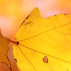 Arboretum 121809 256 (Shutter_Hand) Tags: autumn light shadow usa naturaleza color colour fall hoja luz yellow jaune bug insect dallas leaf colorful texas sony sombra amarillo amarelo gelb giallo otoño alpha bicho gul amarilla dallasarboretum insecto colorido 黄色 желтый dilaw a700 acersaccharum getrdun पीला miguelmendoza sonyalphaa700 iloveminolta letnaturenurtureyou minoltaaf100mmf28macrod chalkmaple iloveminoltaglass