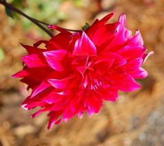 GOOD DAY SUNSHINE (Irene2727) Tags: red flower macro sunshine closeup dof bokeh fiore amazingcolors bej bokehlicious specialpicture nikond40 vftw 100commentgroup amazingeyecatcher miasbest flowerquest newgoldenseal gfeffe mixofflowers