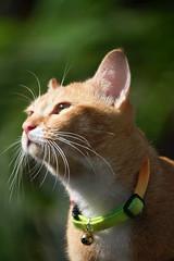 Lost in deep thought (stratman (2 many pix!)) Tags: chat gatos kitteh neko katzen kucing orangecats dfp canon450d friendsofphoebezeus