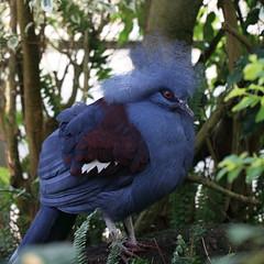 Western Crowned Pigeon / Goura cristata / 冠鳩(カンムリバト)
