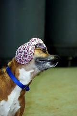 Sadie (K. Englert) Tags: dog earwarmers