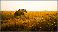 Golden elephants.... (Sri Dhanush) Tags: india grass nationalpark elephants assam kaziranga 55200mm d40 kaziranganationalpark nikond40