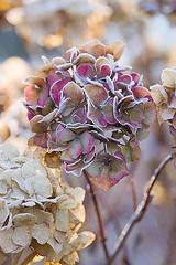 48490 (Clive Nichols) Tags: christmas winter flower gardens head frosty surrey hydrangea shrub wisley altona rhs hortensia mophead macrophylla hortensis clivenichols flickrhydrangeas