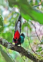 Resplendent Quetzal (4) (David Y. Allen) Tags: birds costarica talamanca savegre resplendantquetzal quetzals
