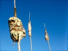 Wilting Cattails (Kara Allyson) Tags: old blue snow fall nature death three photo fluff cattails foam dying wilting cattail catials