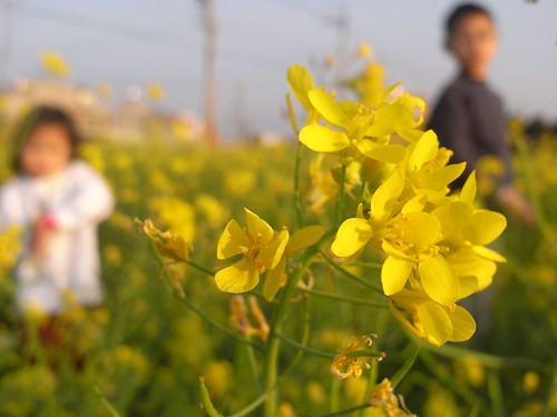 katharine娃娃 拍攝的 7油菜花。