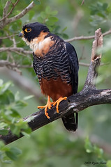Bat Falcon (Falco rufigularis) (*Ryan Shaw) Tags: mexico foot december bat stretch raptor falcon 2009 campeche calakmul batfalcon falcorufigularis canoneos50d canonef500mmf4lisusm canonef14xiiextender estructurai calakmulbiospherereserve