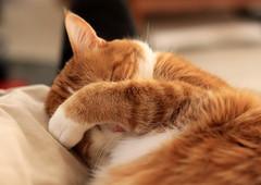 [フリー画像] [動物写真] [哺乳類] [ネコ科] [猫/ネコ] [寝顔/寝相/寝姿] [目を覆う] [チャトラ]    [フリー素材]