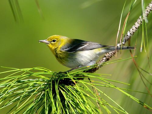 Pine Warbler 5-20100228