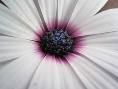 African daisy (jenburn) Tags: flower scenery african daisy africandaisy osteospermum
