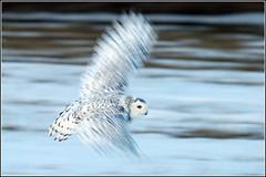 Owl (Snowy) - 1853 (ISO Test) (Earl Reinink) Tags: flight raptor snowyowl snowyowlinflight earlreinink wwwearlreininkcom wwwipaintca