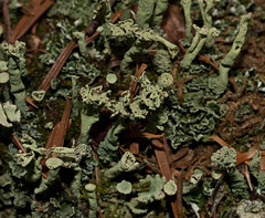 Cladonia multiformis 'Sieve Lichen' (?) (dougwaylett) Tags: canada alberta lichens kananaskiscountry cladonia cladoniamultiformis sievelichen