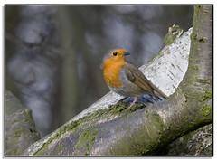 Robin.... (Phil Dodd CPAGB BPE1*) Tags: nature robin birds naturalhistory britishwildlife dapagroup dapagroupmeritaward dapagroupmeritaward3 dapagroupmeritaward2 dapagroupmeritaward1 wildbritishbirds