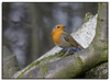 Robin.... (Phil Dodd CPAGB BPE1*) Tags: nature robin birds naturalhistory britishwildlife dapagroup dapagroupmeritaward dapagroupmeritaward3 dapagroupmeritaward2 dapagroupmeritaward1 wildbritishbirds