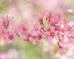 Special Moments (KimFearheiley) Tags: pink springtime allure pinkblossoms florabellatextures