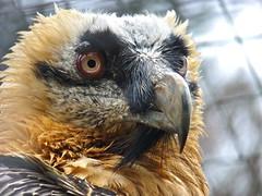 Bearded Vulture, Andalucia, Spain (ebuechley) Tags: wildlife andalucia andalusia quebrantahuesos spainespana beardedvulture